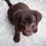 ラブラドール・レトリーバーが超可愛い!飼い主が気をつけたいことは?