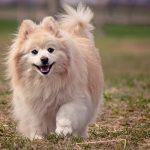 ポメラニアンを愛犬として迎え入れたい?ドッグトレーナーからのアドバイス!