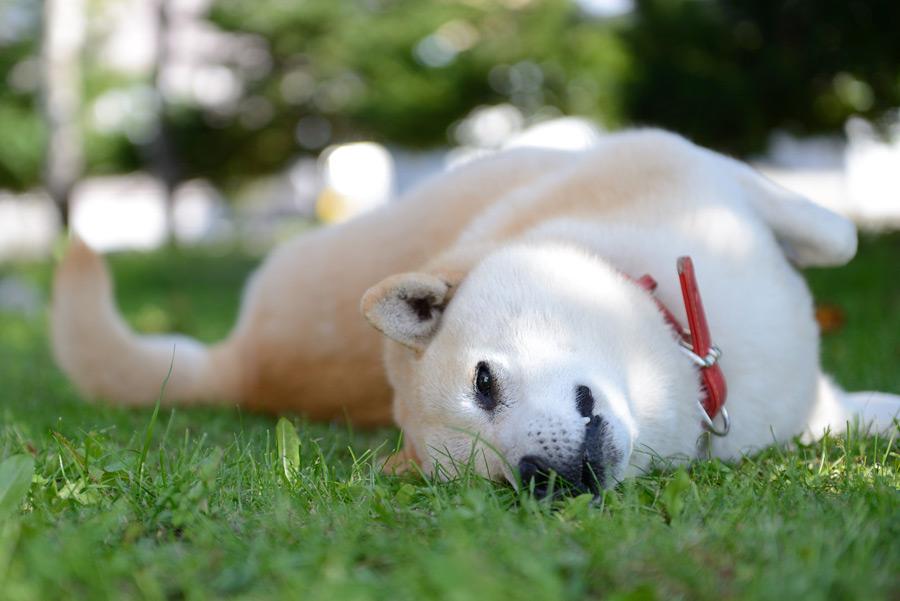 柴犬を飼いたい方へ!犬の訓練士が様々な情報をご紹介!